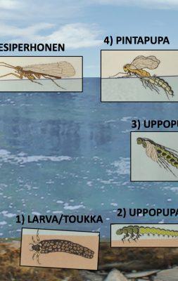 Vesiperhosten elämänkaari