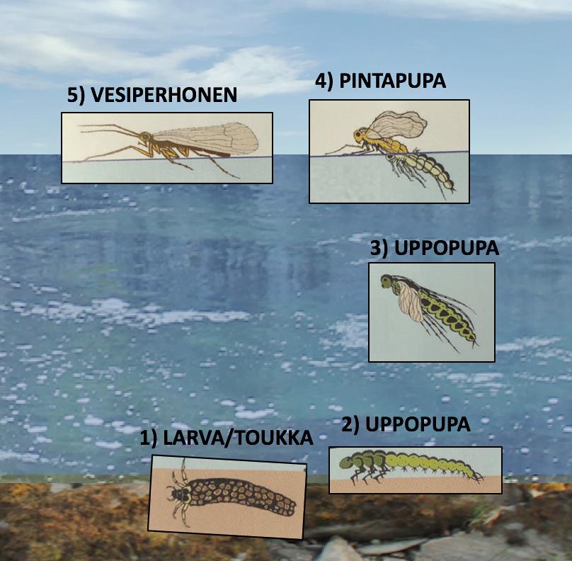 Vesiperhosen eri kehitysvaiheet